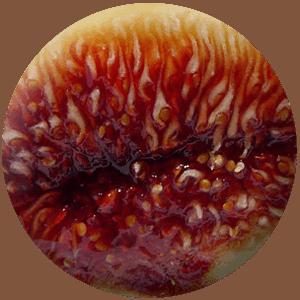 THETA Brand figs